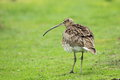 Long billed curlew the adult in the grass Stock Image