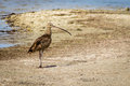 Long-billed Curlew on the Beach, Port Aransas Texas Royalty Free Stock Photo