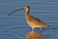 Long billed curlew numenius americanus also known as sicklebird and candlestick bird wading in blue water Royalty Free Stock Photo