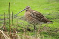 Long billed curlew standing at the reeds Stock Photography