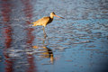 Long-billed Dowitcher (Limnodromus scolopaceus) reflected by famous Golden-Gate Bridge. Royalty Free Stock Photo
