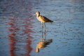 Long-billed Dowitcher (Limnodromus scolopaceus) reflected by famous Golden-Gate Bridge Royalty Free Stock Photo