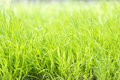 Long blades of grass Royalty Free Stock Photo