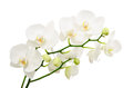 Long branches of bouquet delicate white orchid Royalty Free Stock Photo
