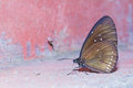 Long branded blue crow butterfly close up of euploea algea Royalty Free Stock Image