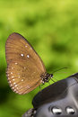 Long branded blue crow euploea algea butterfly on camera Royalty Free Stock Photography