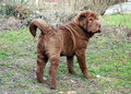 Long brush coat, sharpei Royalty Free Stock Photo