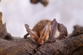 Long eared bat close up on a bark background Royalty Free Stock Photo