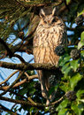 Long eared Owl Royalty Free Stock Photo
