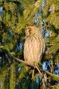 Long-eared owl (Asio otus) Stock Image