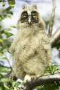 Long eared owl asio otus a baby bird of in the tree Stock Photo