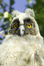 Long eared owl asio otus a baby bird of in the tree Stock Image