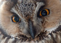 The long eared owl asio otus eyes a watching photographer is a species of which breeds in europe asia and Royalty Free Stock Images