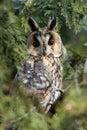 The Long-eared Owl (Asio otus) on the tree