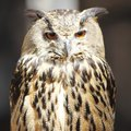 Long eared owl close up portrait Royalty Free Stock Photos