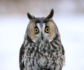 Long eared owl face to face a asio otus sitting on a perch with a snowy background Stock Photo