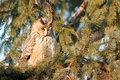 Long eared owl on fir tree asio otus Stock Image