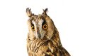 Long-eared Owl isolated on white Royalty Free Stock Photo