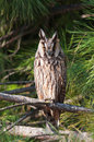 Long eared owl portrait asio otus on a pine tree branch front view Stock Image