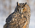 Long eared owl portrait of on grey background Stock Photography