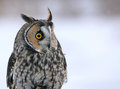 Long-eared Owl Profile Stock Image
