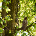 Long eared owl a is resting in on a branch in a tree Stock Photography