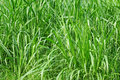 Long grass. Royalty Free Stock Photography
