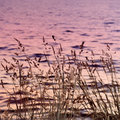 Long grass near the river on sunset toned in blue and pink Royalty Free Stock Image