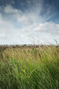Long grass swaying in the breeze on a summers day Stock Photo