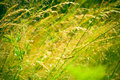 Long green grass background Stock Image