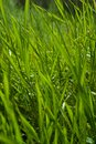 Long green summer grass Stock Photography