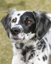 Long hair dalmatian posing Stock Photos
