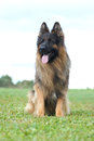 Long hair german shepherd dog sitting Stock Photos