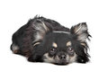 Long haired chihuahua Royalty Free Stock Images