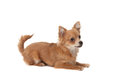 Long haired chihuahua puppy dog in front of a white background Royalty Free Stock Image