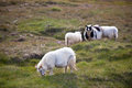 Long haired sheep herd on the green grass of iceland Royalty Free Stock Images