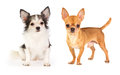 Long-haired and short-haired Chihuahua Royalty Free Stock Photo