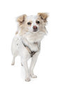 Long haired white chihuahua Stock Images