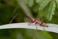 Long horn beetle Stock Image