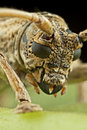 Long-horned beetle Royalty Free Stock Photo