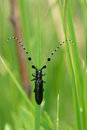 Long horned beetle the close up of black scientific name agapanthia amurensis Stock Photography
