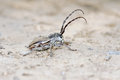 Long horned beetle the close up of a scientific name eodorcadion virgatum Stock Images