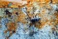 Long horned beetle morinus funereus asper shoot on a beech trunk Stock Photography
