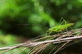 Long horned grasshopper is staying on the plant Stock Photo
