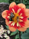 Orange dahlia blooming with bee in New York Royalty Free Stock Photo