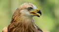A long-legged buzzard Royalty Free Stock Photography