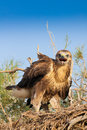Long legged buzzard juvenile of buteo rufinus sitting in the nest kazakhstan Stock Photo