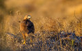 Long-legged Buzzard under Setting Sun Royalty Free Stock Photo