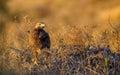 Long-legged Buzzard under Setting Sun Royalty Free Stock Photo