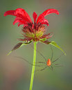 Long legs on Bee Balm Stock Photography